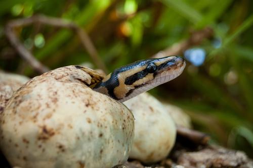 アオダイショウ 青大将 卵 孵化 管理