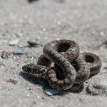 アオダイショウの幼蛇と毒ヘビマムシとの違いとは
