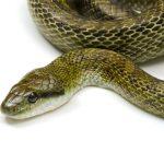 蛇の冬眠の時期は?飼育しているアオダイショウ。