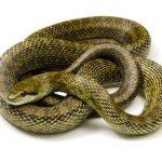 蛇の寿命は何年?アオダイショウは?