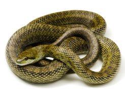 蛇 アオダイショウ 寿命