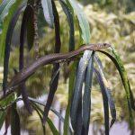 シマヘビとアオダイショウを区別する方法