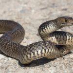 アオダイショウの幼蛇はマムシに擬態している